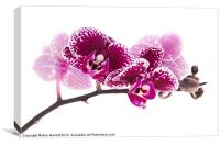 Deep Pink Moth Orchid, Canvas Print