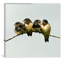 Swallow Fledglings 2, Canvas Print