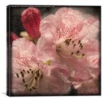 Pink Rhododendron, Canvas Print