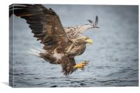 Male White-tailed Eagle, Canvas Print