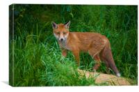 Red Fox cub, Canvas Print