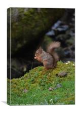 Red Squirrel 4, Canvas Print