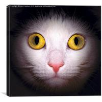 Domestic Black and White house cat, Canvas Print