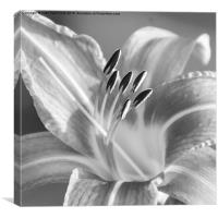 Black and White Tiger Lily, Canvas Print