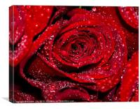 Red Rose with water drops, Canvas Print