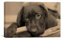 Chocolate Labrador Retriever, Canvas Print