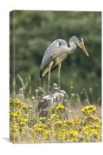 Grey Heron In Wildflower Meadow, Canvas Print