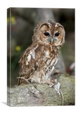 Tawny Owl on branch with mouse, Canvas Print