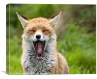 Red Fox Yawning, Canvas Print