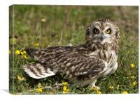 Short Eared Owl Sitting, Canvas Print