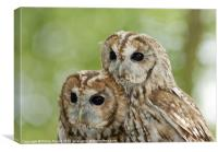 Pair of Tawny Owls, Canvas Print