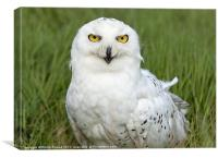 Snowy Owl in grass, Canvas Print