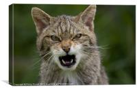 Very Angry Scottish Wildcat, Canvas Print