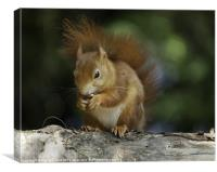 Red Squirrel on Branch, Canvas Print