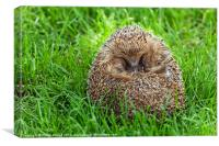 Hedgehog Curled Up In Grass, Canvas Print