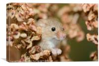 Harvest mouse in dry leaves, Canvas Print