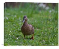 Female Mallard Duck, Canvas Print