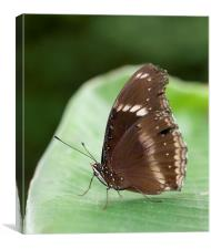 Brown Butterfly on a leaf, Canvas Print