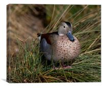 Duck Sitting in Grass, Canvas Print