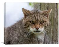 Scottish Wildcat Staring, Canvas Print