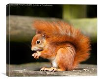 Red Squirrel Eating a Hazelnut, Canvas Print