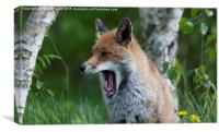 Fox Yawning, Canvas Print