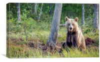 Wild brown bear in forest near lake in Finland, Canvas Print