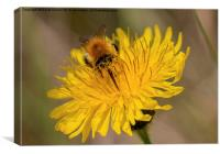 Carder bee on yellow flower, Canvas Print