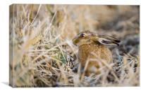 BROWN HARE AFTER THE HARVEST, Canvas Print