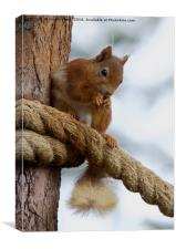 Red Squirrel on the Ropes, Canvas Print