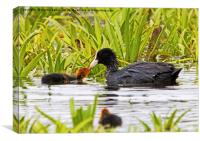 Coot With Chick, Canvas Print