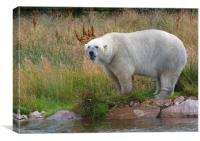 Male Polarbear Standing by the Lake, Canvas Print