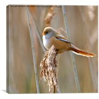 Female Bearded Tit, Canvas Print