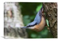 Nuthatch 2, Canvas Print