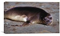 Southern Elephant Seal Pup, Canvas Print