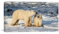 Polar Bear Mother & Cub Churchill Canada, Canvas Print