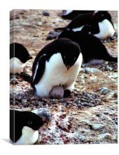 Get Back in the Warm Chick: Adelie Penguin, Canvas Print