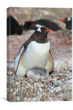 Gentoo Penguin With Chick, Canvas Print