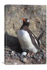 Gentoo Penguin on Nest with Eggs, Canvas Print