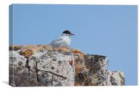 Antarctic Tern Nesting, Canvas Print