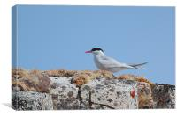 Antarctic Tern In The Rookery, Canvas Print