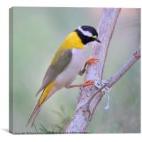 Black-chinned Honeyeater, Canvas Print