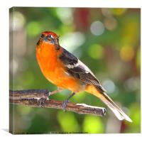 Baltimore Oriole, Canvas Print