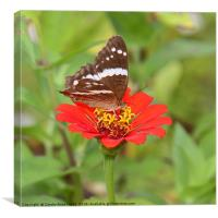 Zinnia with Butterfly, Canvas Print