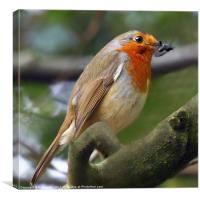 Robins lunch, Canvas Print