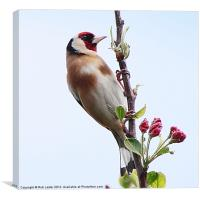 Goldfinch, (Carduelis carduelis), Canvas Print