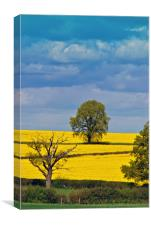 Rapeseed Oil Fields in Mortimer West Berkshire, Canvas Print