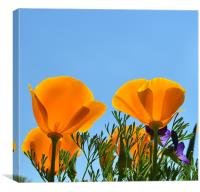 Californian Poppies, Canvas Print