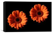 Two Orange Gerber Daisies on Black Backgrounds, Canvas Print