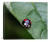 Black and Red Ladybird, Canvas Print